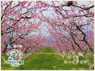 桃園 桃の花が満開