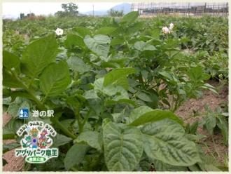 ジャガイモの花 ジャガイモ畑
