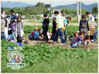 さつま芋畑 芋掘り体験