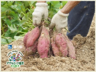 サツマイモ掘り