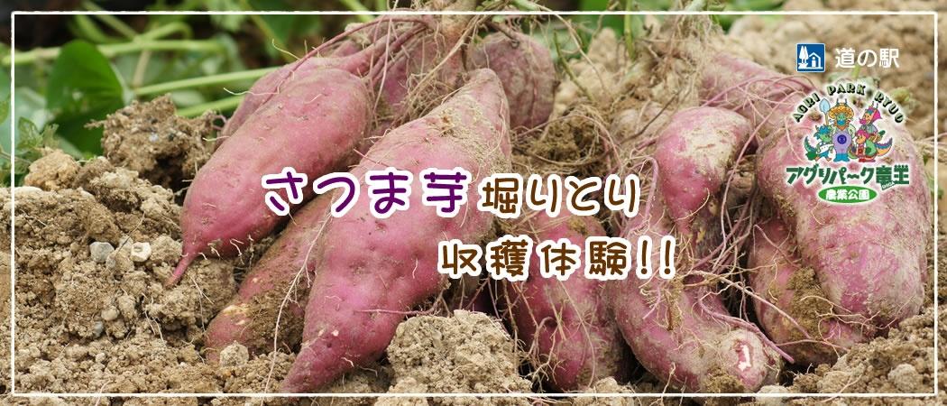 さつま芋掘りとり収穫体験